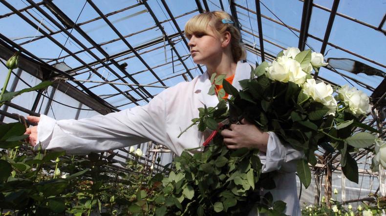 Russische Blumenzüchter bitten um Staatshilfe: Corona-Krise rafft Millionen von Schnittrosen hinweg
