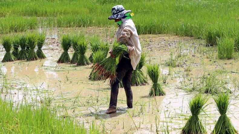 COVID-19 und die globale Ernährungssicherheit: Reis- und Weizenpreise steigen erheblich