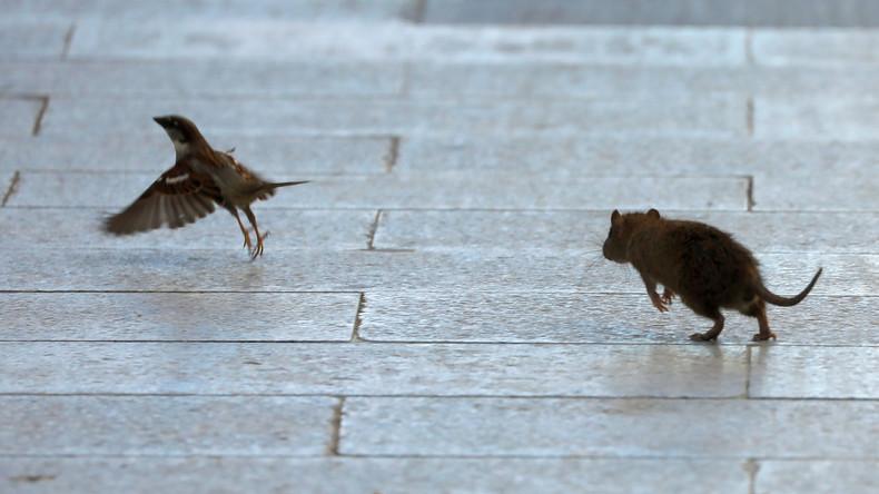 Corona-bedingter Nahrungswegfall: Hungernde Ratten liefern sich Verteilungsschlachten in den Straßen