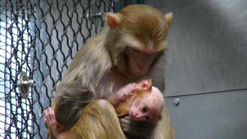 Millionen Versuchstiere gezüchtet und ungenutzt getötet – Aber gegen COVID-19 müssen Affen ran