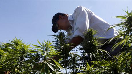 Libanon legalisiert Anbau von Cannabis für medizinische Zwecke. Auf dem Archivbild: Ein libanesischer Bauer auf einer Cannabis-Plantage in Yammouneh westlich von Baalbek, 13. August 2018