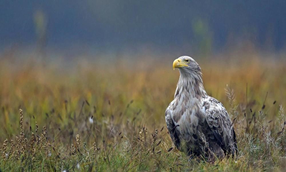 Niedersachsen: Polizei übernimmt Krankentransport für verletzten Seeadler