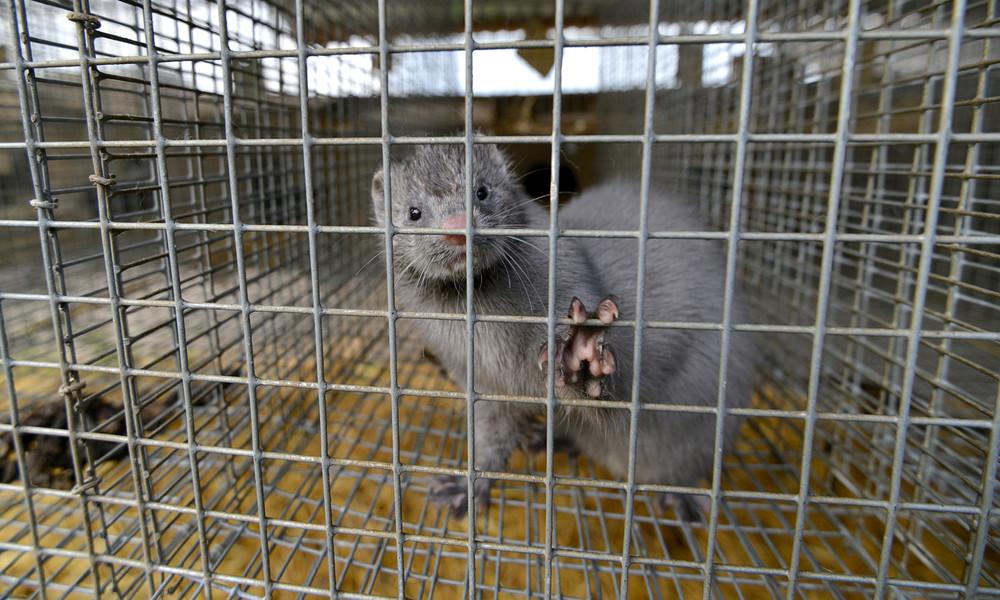 Risiko einer Tier-Mensch-Übertragung: Spanien ordnet Schlachtung von über 90.000 Nerzen an