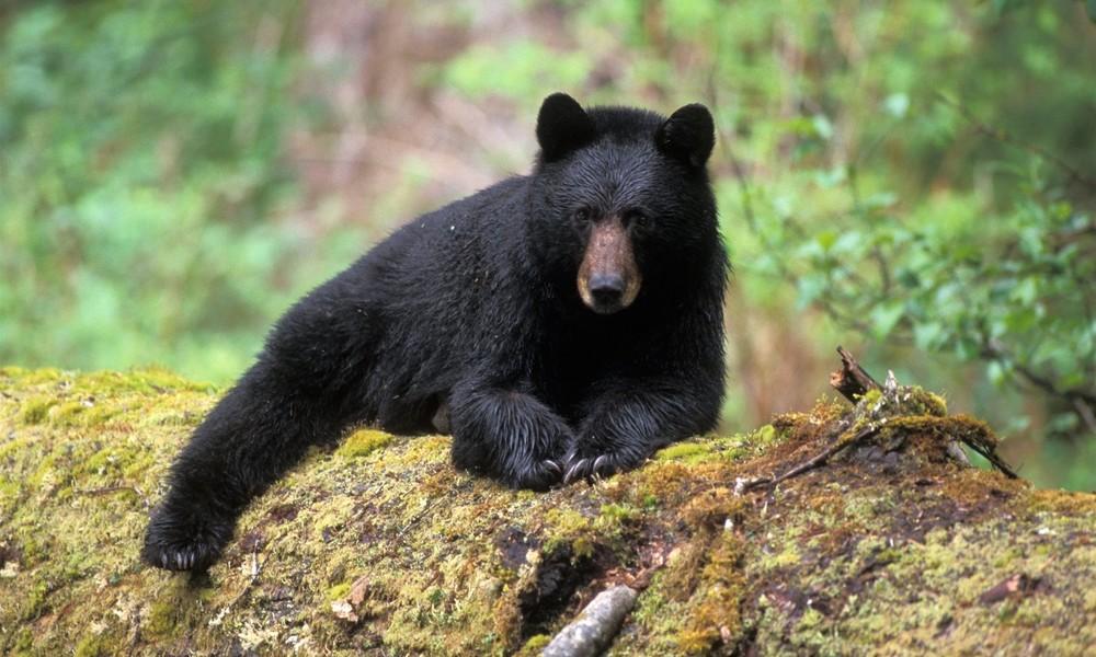 Bitte lächeln: Bär belästigt Touristen in Naturpark – Besucherin macht Selfie