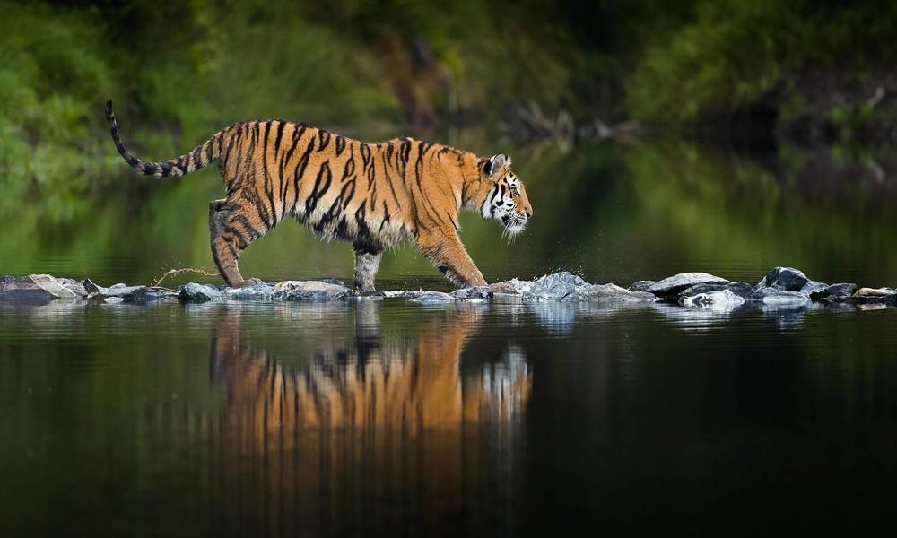 In Russland und China: Frei lebende Tigerpopulationen konnten sich erholen
