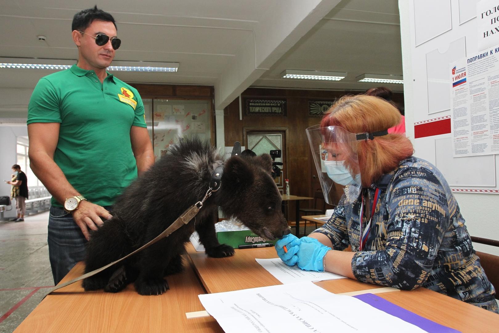 Der stellvertretende Direktor des Baranauler Zoos Alexander Tschebotarjow besucht mit der kleinen Bärin Dascha ein Wahllokal in Baranul, 1. Juli 2020.