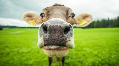 Zahlreiche Nutzer posteten Videos, auf denen vor allem Kühe, aber auch andere Tiere erschreckt werden