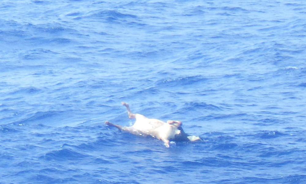 Fast 6.000 Rinder bei Schiffsunglück vor Japan ertrunken