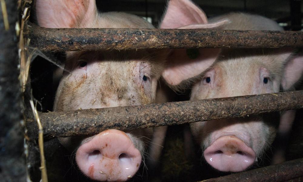 Erster Fall von Afrikanischer Schweinepest in Deutschland bestätigt
