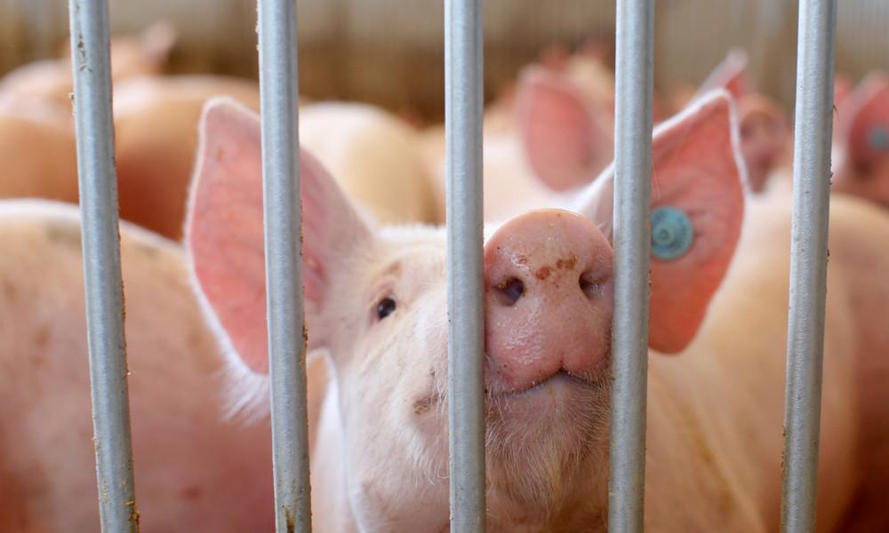 Afrikanische Schweinepest: China blockiert Schweinefleischimporte aus Deutschland
