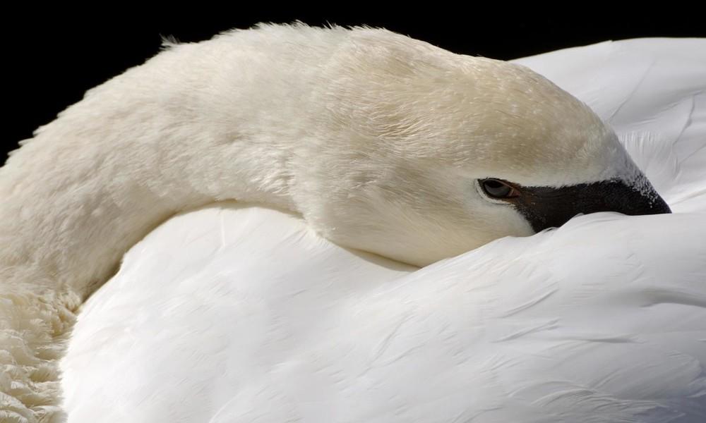 Penibler Schwan: Vogel erinnert Frau an soziale Distanz und strikte Corona-Auflagen