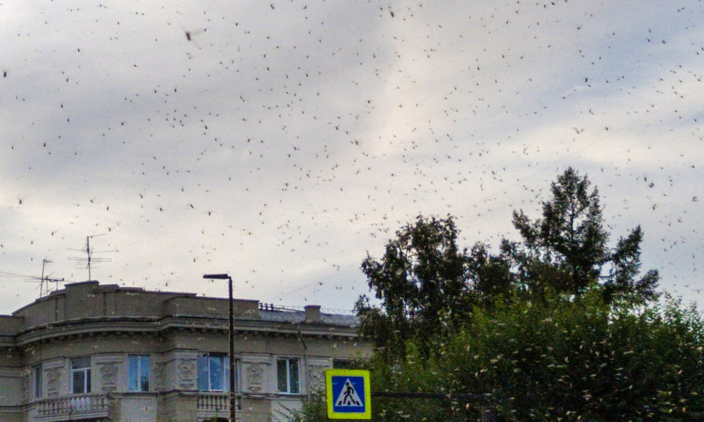 Schwärme von Blattläusen und Marienkäfern attackieren sibirische Stadt (Videos)