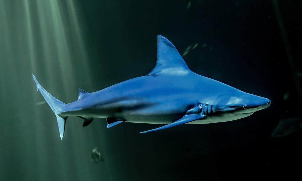 Tierschützer warnen: Bis zu 500.000 Haie durch Produktion von Corona-Vakzin von Schlachtung bedroht
