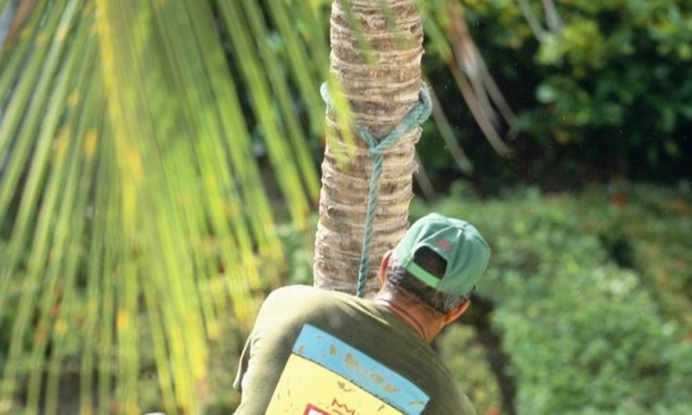 Die Palme schnellt zurück: Mann sägt Palmenkrone ab und wird beinahe vom Stamm katapultiert