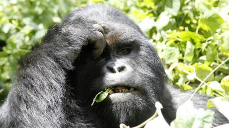 Der Flachlandgorilla im Kongo gehört zu den besonders gefährdeten Arten.