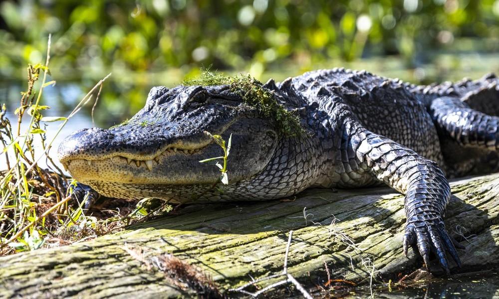 Russland: Fischer stößt auf Krokodil und wird beim Aufschlitzen des Reptils von Inspekteuren ertappt