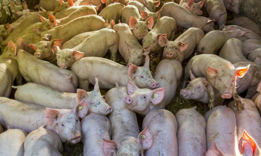 Studie: Massentierhaltung birgt Gesundheitsrisiken – Schweinehalter wollen mehr schlachten