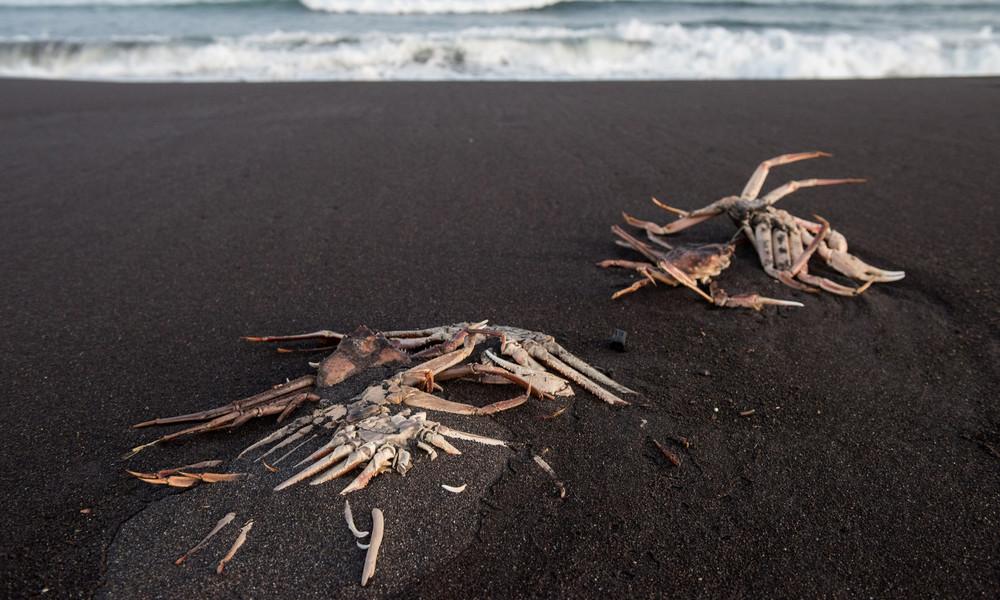 Russische Wissenschaftler nennen Ursache für Tiersterben an Kamtschatkas Küste