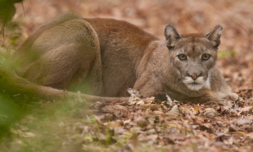 Mutterinstinkt in freier Wildbahn: Jogger trifft Pumakätzchen und flüchtet vor dessen Mutter (Video)