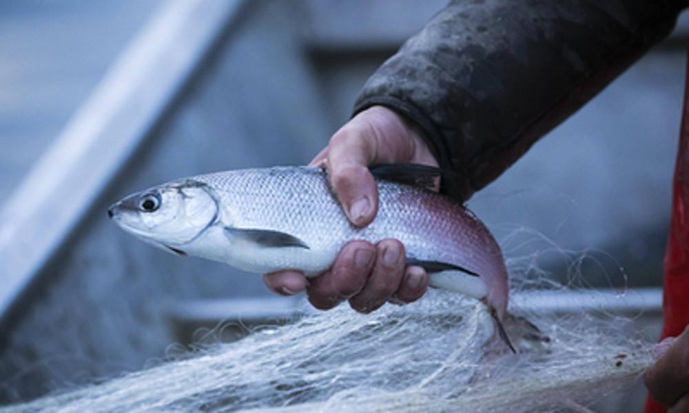 Brexit-Streit um Fischgründe: Brüssel will britische Fischer unter EU-Regeln zwingen