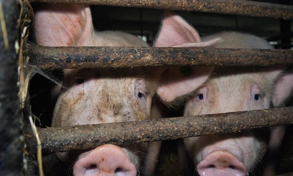 Deutscher Bauernverband: Größte Krise für die Schweinehaltung seit Jahrzehnten