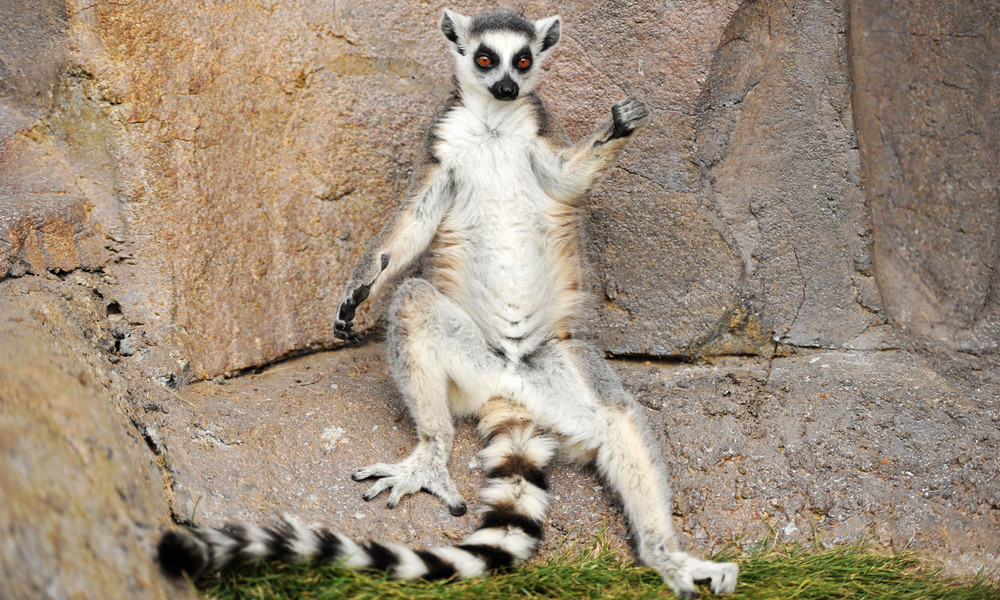 Tierisches Kidnapping: Entführter Lemur kehrt in US-Zoo zurück