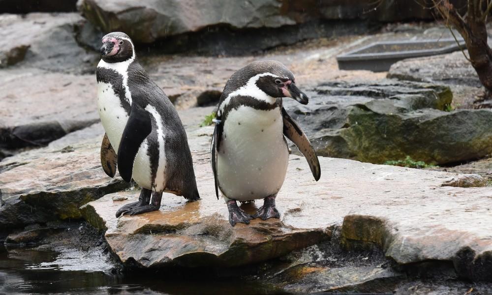 Elternkrieg im Zoo: Schwule Pinguine stehlen lesbischen Artgenossinnen deren Eier