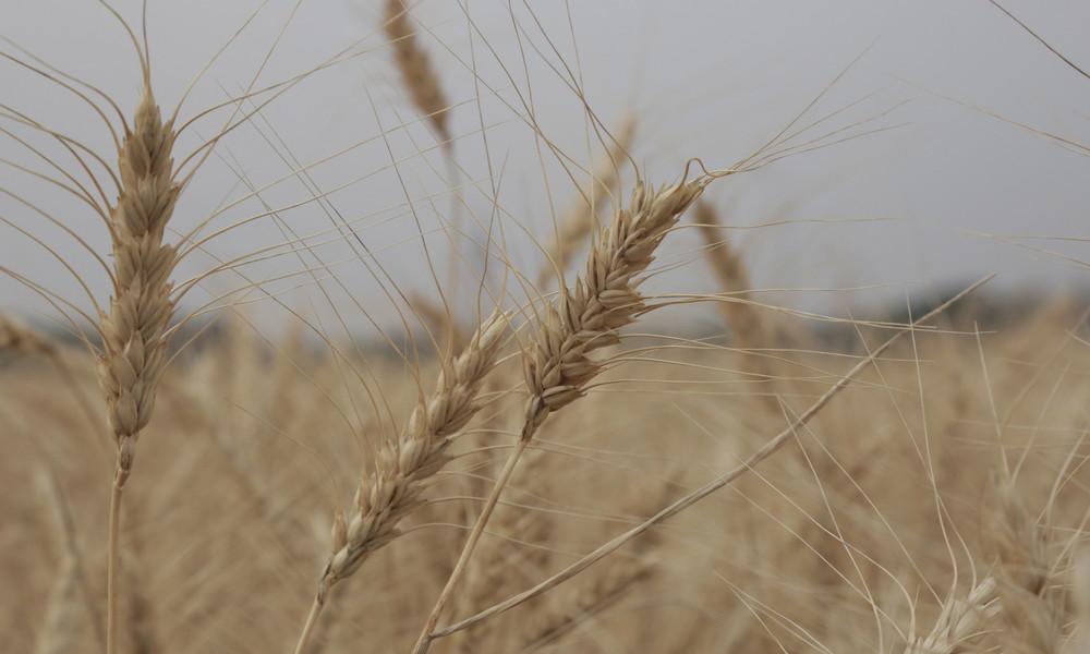 Als erstes Land der Welt: Argentinien erlaubt Anbau von Genweizen