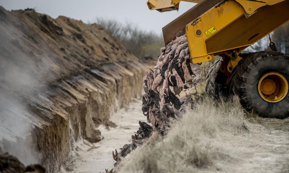 Dänemark: Wegen Corona geschlachtete Nerze erheben sich aus Massengrab