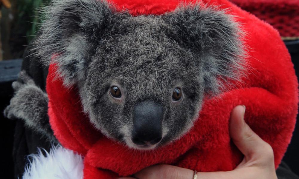 Unerwarteter Gast: Australische Familie findet Koala auf ihrem Weihnachtsbaum