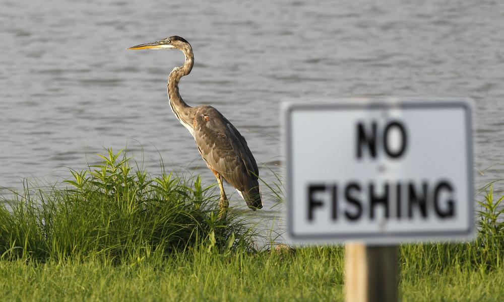Schnabelgerechter Bissen: Reiher verschlingt Alligator