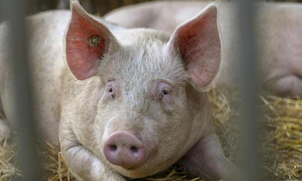 Nach Bauernprotesten: Lidl erhöht Preise für Schweinefleisch