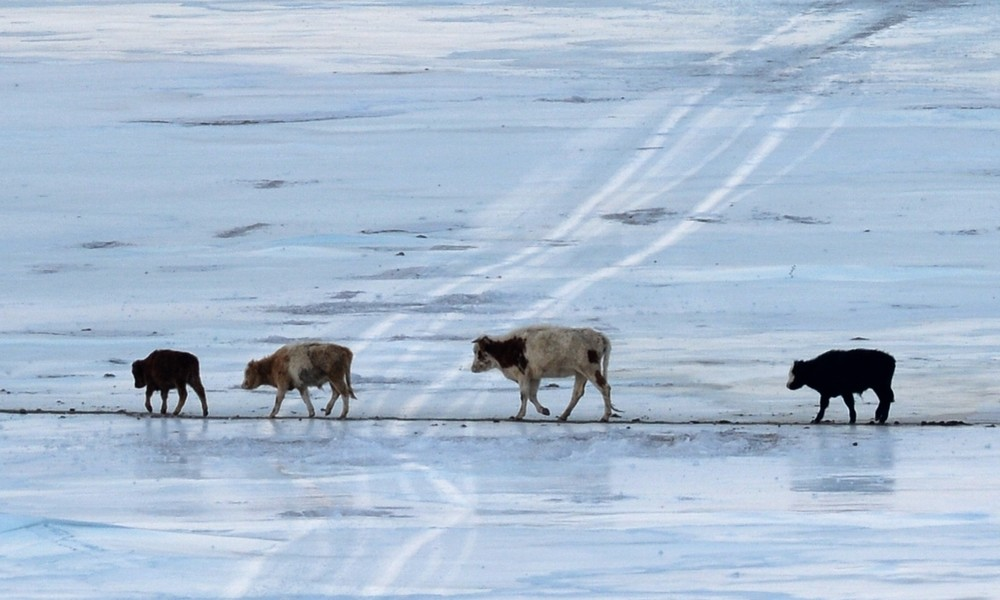Euterhalter gegen klirrende Kälte: Familie aus Jakutien kümmert sich um Komfort ihrer Kühe