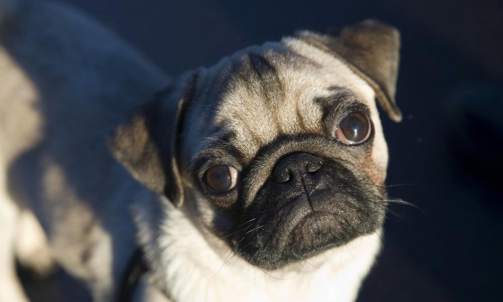 Wegen Corona-Isolation: Organisierte Kriminalität profitiert vom grassierenden Hundediebstahl