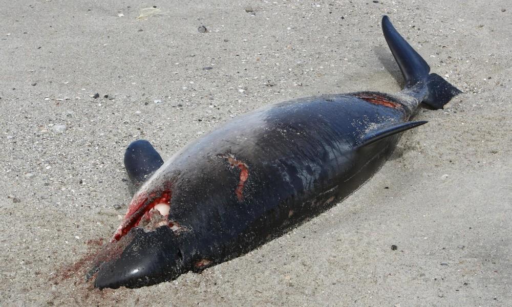 Schweinswale beeinträchtigt durch Offshore-Windanlagen, Fischfang und Sprengungen der Bundesmarine
