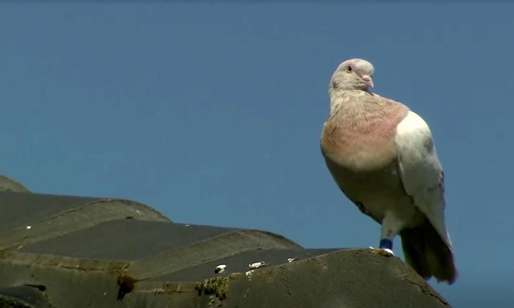 Doch nicht aus dem Ausland: Australien begnadigt zum Tode verurteilte Taube