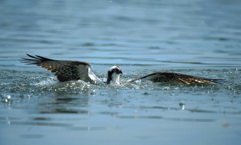 Fischadler verwickelt sich in Angelschnur – Australier rettet Greifvogel aus Ozean