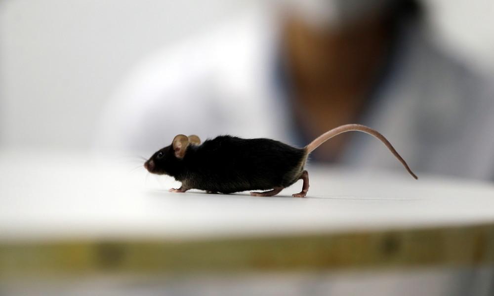 Medizinischer Durchbruch: Deutsche Forscher bringen gelähmte Mäuse wieder zum Laufen