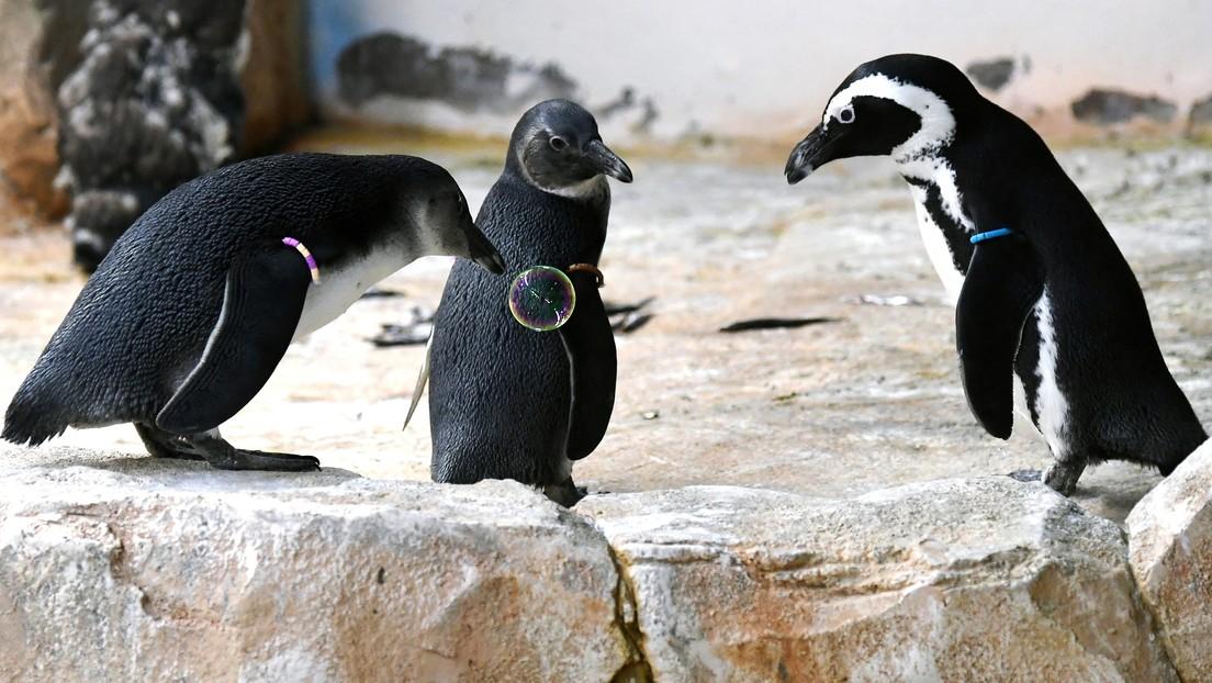 Video: Schaumparty für Pinguine in Moskauer Zoo