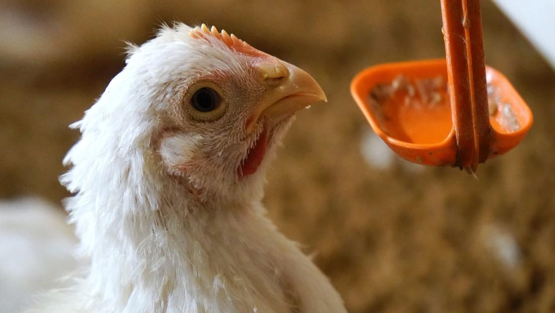 Russland: Weltweit erster Infektionsfall von Vogelgrippe H5N8 beim Menschen nachgewiesen