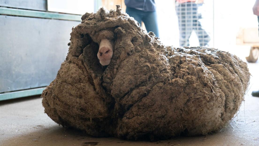 Verloren und ungeschoren: Tierschützer retten Schaf vor 35 Kilo Vlies