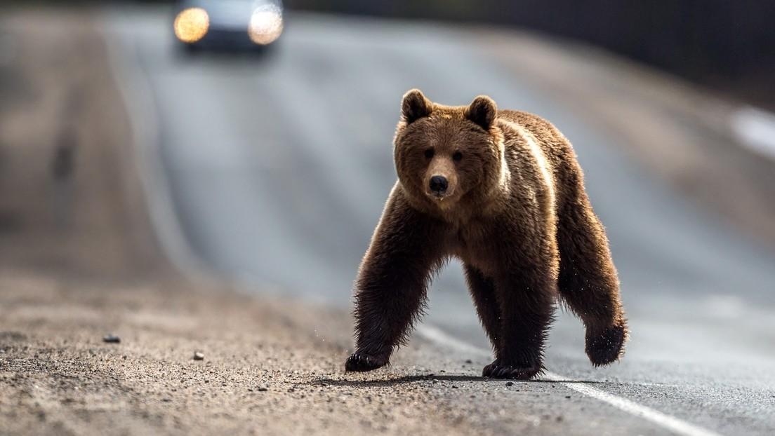 Trotz Vorurteilen kein Alltagstrott in Russland: Bär bummelt durch Stadt und macht Passanten Angst