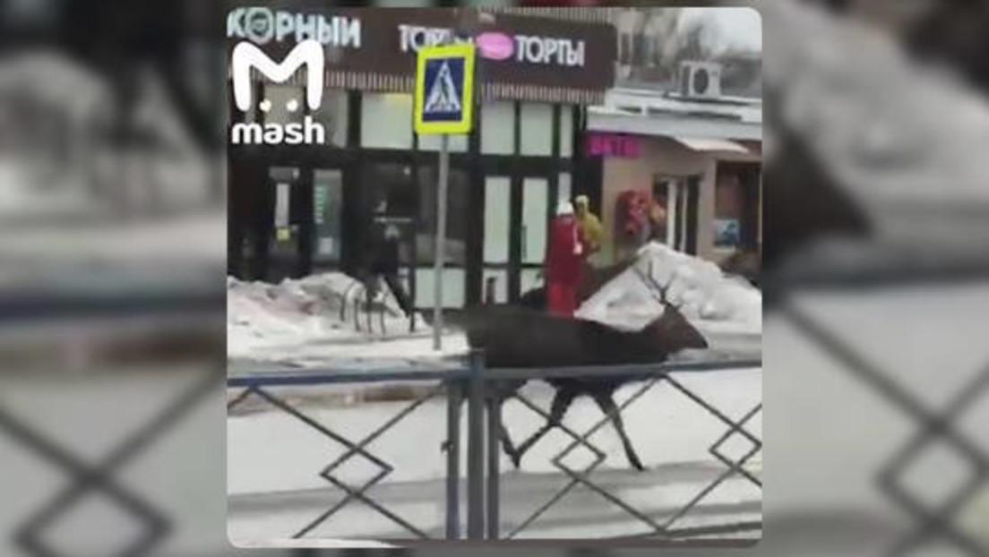 Natur erobert Russland zurück: Hirsch sorgt für Aufregung in Kleinstadt bei Moskau