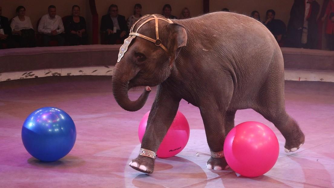 Russland: Zirkuselefant verprügelt Rivalin – Ermittlungen laufen