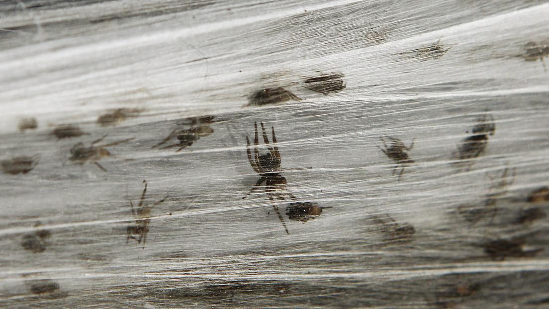 Rette sich, wer kann: Millionen Spinnen fliehen vor Hochwasser in Australien