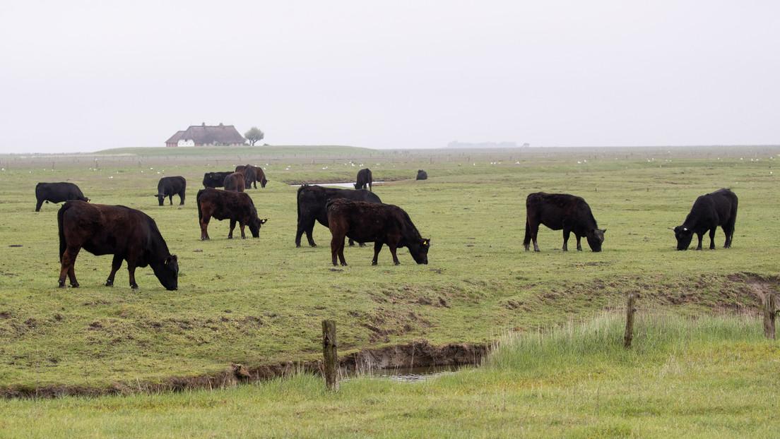 Freiheit gegen Wärme: Kühe finden wenig Gefallen am ersten Spaziergang nach Überwinterung im Stall