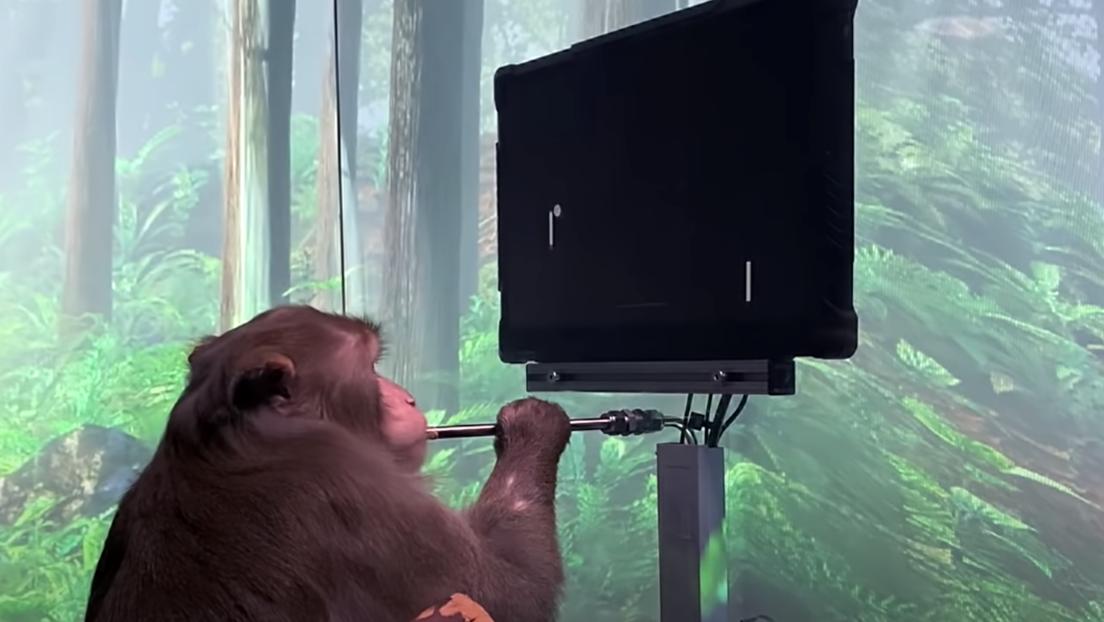 Gedankenspiel: Affe steuert Computer mit reiner Willenskraft