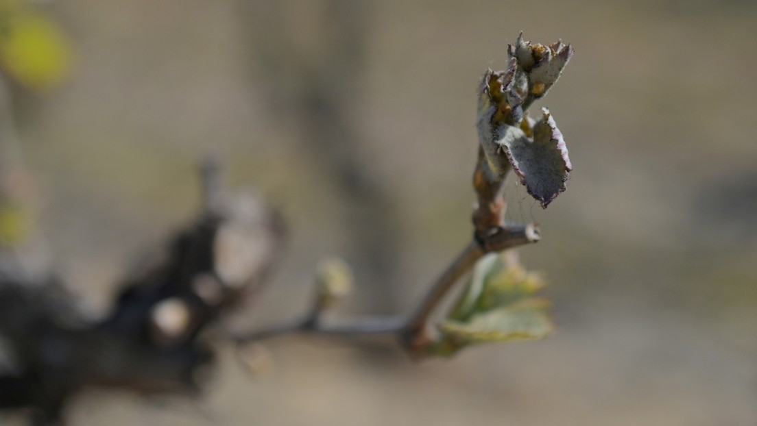 Nach Frosteinbruch: Französische Bauern fürchten um Ernte