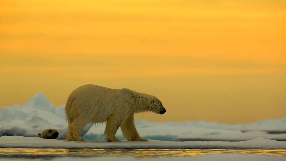 Arktische Gefahren: Eisbär bringt Manöver russischer Atom-U-Boote fast zum Scheitern