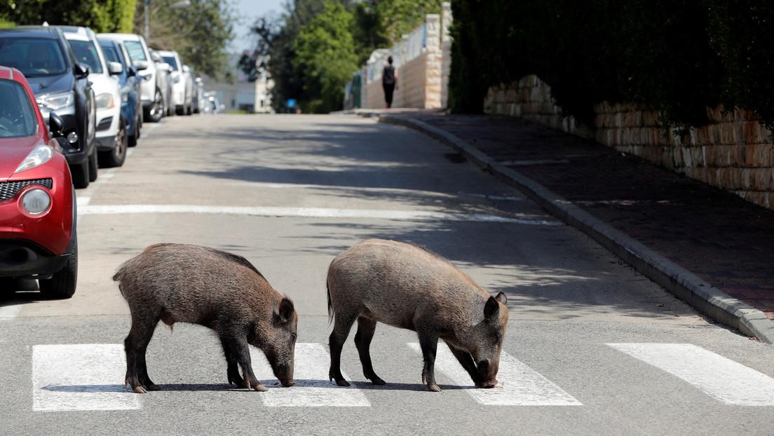 Benehmen sich wie Schweine: Eber überschwemmen israelisches Haifa